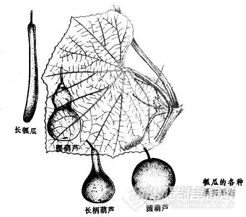 小时候只吃过这种),那种腰葫芦和长柄葫芦的可能比较容易和苦葫芦瓜